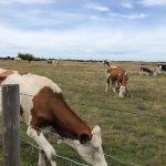 Soms lopen er koeien te loeien